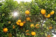 orange tree Royaltyfri Foto