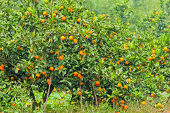 Orange tree. With fruits in autumn Stock Photography