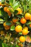 Orange on tree stock photo