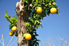 Orange tree. Stock Image