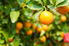 Orange on tree Royalty Free Stock Photos