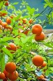 Orange Tree. Bunches of ripe oranges growing wild Royalty Free Stock Image