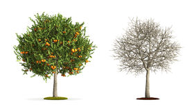 Orange Tree. Stock Photography