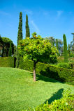 Orange tree. With ripe fruit on green meadow surrounded by trimmed green juniper bushes on a bright sunny day, Santa Clotilda garden, Lloret de mar, Spain Royalty Free Stock Image
