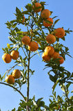 Orange tree. And blue sky Royalty Free Stock Images