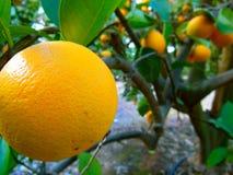 Orange on Tree. Orange hanging on citrus tree in orchard Stock Photography