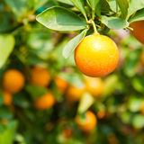 Orange on tree Stock Photography