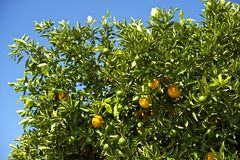Orange Tree. In Southern California. Oranges Farm.  and Blue Sky. Gardening Photo Collection Royalty Free Stock Photos