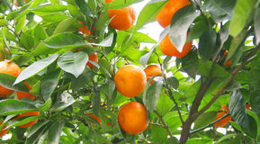 Orange tree. With ripe oranges Royalty Free Stock Photography