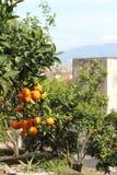 Orange Tree royaltyfri fotografi