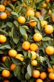 orange tree Arkivbilder