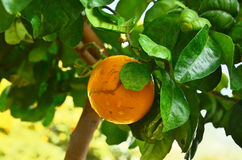 Orange Tree Arkivbilder
