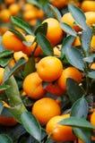 orange tree Arkivfoton