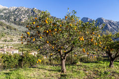 Orange Tree Royaltyfria Foton