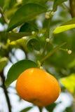 Orange Tree Fotografering för Bildbyråer