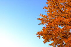 Orange tree. Autumn tree Royalty Free Stock Photos
