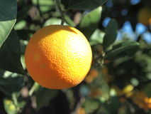 Orange. An orange on the tree Royalty Free Stock Photos