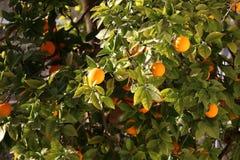 Orange Tree Royaltyfria Bilder