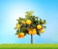 Free Orange Tree Royalty Free Stock Photo - 9289165