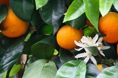 Orange tree. Full of fruits Stock Photos