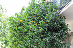 Orange Tree Royaltyfri Bild