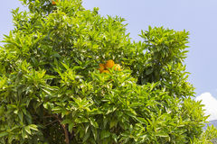 Orange Tree Royaltyfria Foton