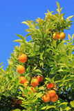 Orange tree against blue sky Stock Photos