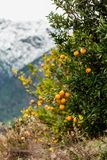 Orange tree against blurred background of snow-capped mountains Stock Image