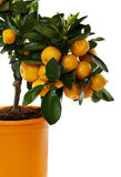 Orange tree against white background Stock Image