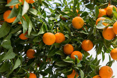 Orange Tree in Antalya. In Turkey in the middle of the streets Stock Image