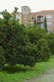 Orange tree and apartments Royalty Free Stock Photos