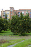 Orange tree and apartments Royalty Free Stock Photography