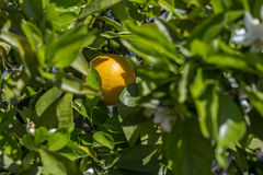 Orange in a tree Stock Photography