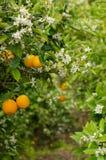 Orange tree blossom. Azahar  blossom, the aromatic springtime in orange tree orchards Stock Images