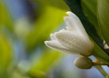 Orange tree blossom. Close up view Stock Photography