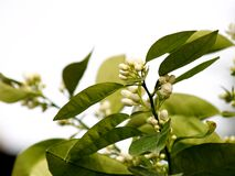 Free Orange Tree Blossom On The Branch Stock Photography - 176185292