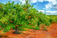 Orange tree in blossom. Orange tree with ripe fruit and flowers on Stock Images