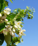 Orange tree blossom Royalty Free Stock Photography