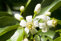 Orange Tree Blossoms Stock Photo