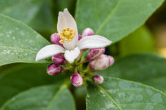 Orange tree blossoms opening Stock Images