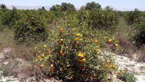 Orange tree wind. Orange tree blowing in the wind, in a Spanish orchard stock video footage