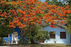 Orange tree and blue house, typical colorful of Trancoso Royalty Free Stock Images