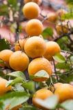 Orange tree. And blue sky Royalty Free Stock Photo