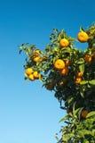 Orange tree and blue sky Stock Image