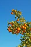 Orange tree and blue sky Stock Photography