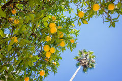 Orange tree, blue sky and palm tree royalty free stock photos