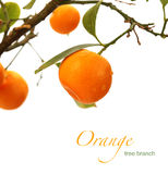 Orange tree branch Stock Photo