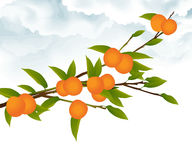 Orange tree branch. Illustration of an orange tree branch with ripe and unripe fruit, against clouds and white background Royalty Free Stock Photo