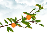 Orange tree branch Royalty Free Stock Photography