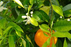 Orange tree branch with fruits and flowers. As background royalty free stock images